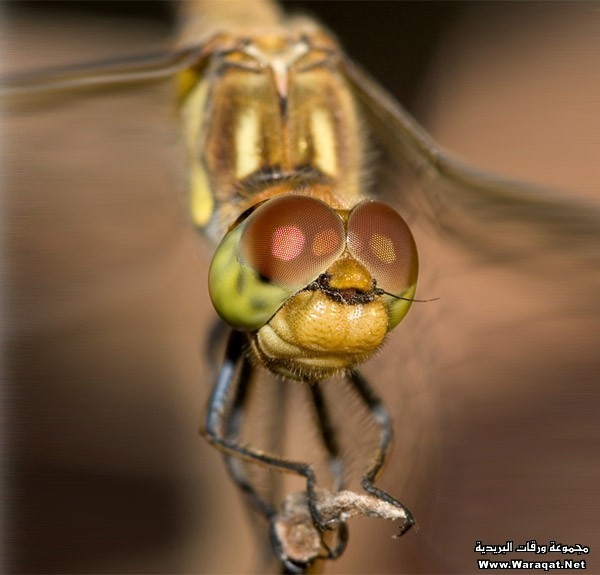 eye-macros-common-darter