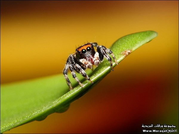 eye-macros-jumping-spider4