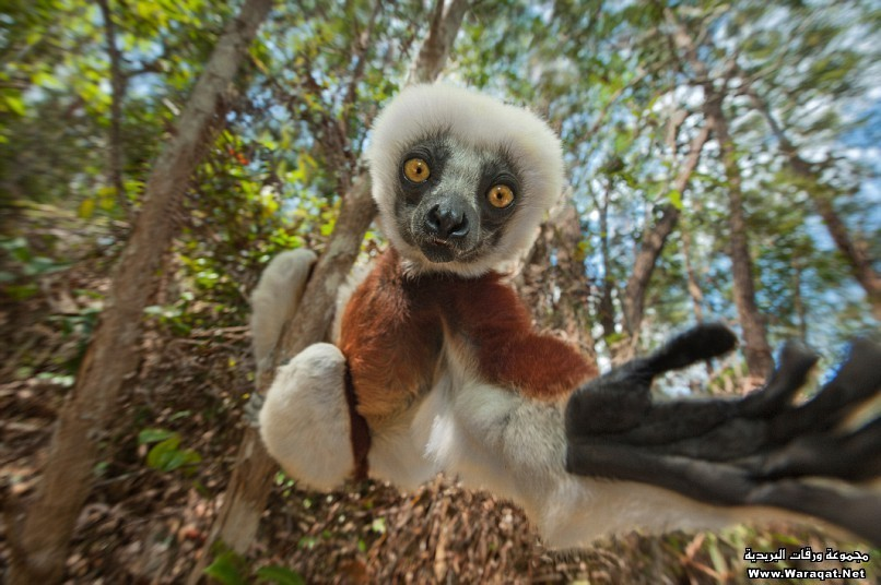 Jumping Lemurs In Madagascar