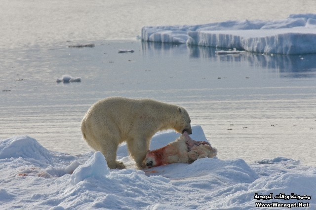 Polar bear infanticide & cannibalism on sea ice, Barents Sea, Svalbard Archipelgo, Norway