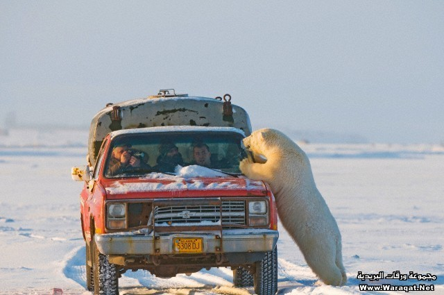 Young polar bear, Ursus maritimus, investigates a few people in a pick up truck outside the arctic village of Kaktovik, Barter Island, off the 1002 area of the Arctic National Wildlife Refuge, North Slope of the Brooks Range, Alaska, autumn