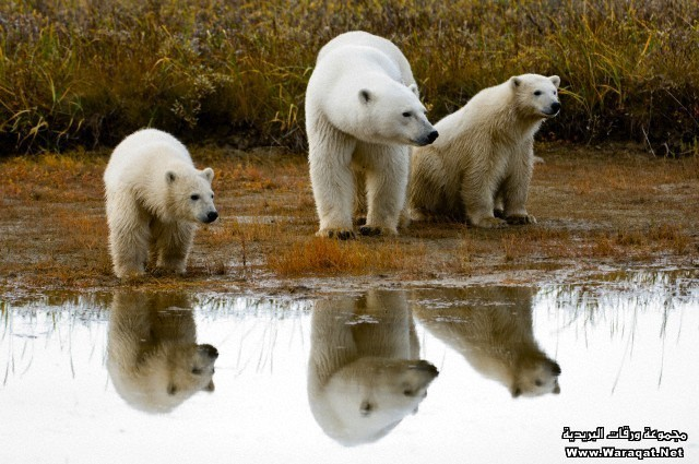 Adult female Polar bear (Ursus maritimus) with 7-8 month old cubs on the shores of Hudson Bay, Canada