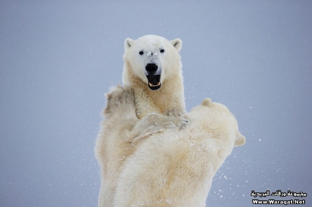 Polar bears play fighting along the shores of hudson's bay