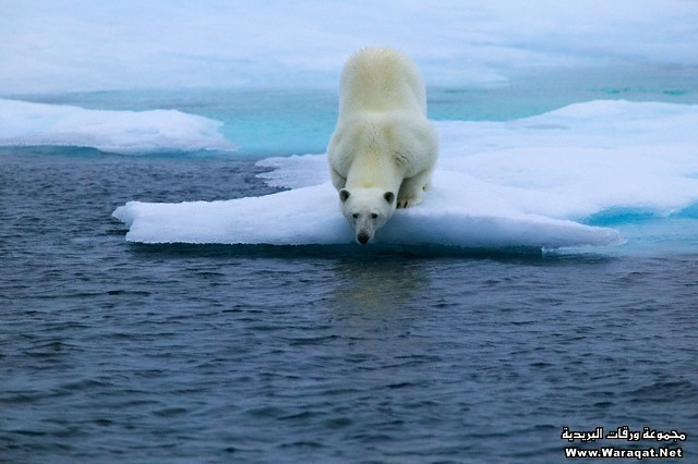 Polar Bear Crouching on Ice