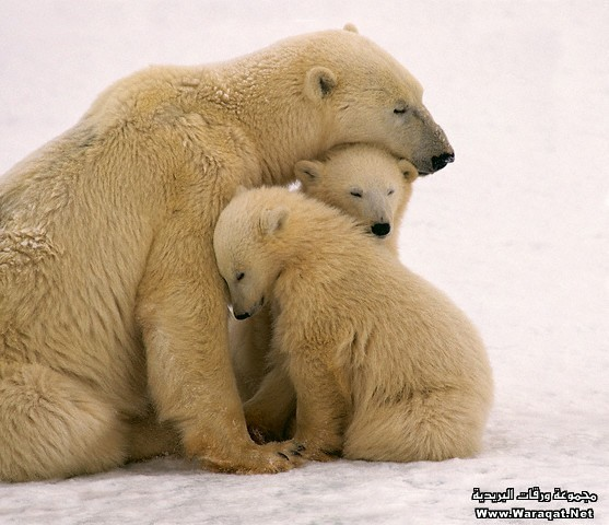 Polar Bear Mother and Cubs Cuddling