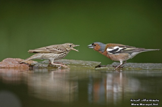 Tree Pipit (Anthus trivialis) and Chaffinch (Fringilla coelebs) adults, in aggressive conflict at woodland pool, Hungary, early summer