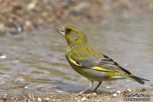 Greenfinch drinking