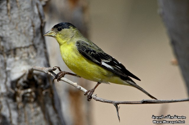 Male lesser goldfinch (Carduelis psaltria), Patagonia-Sonoita Creek Preserve, Patagonia, Arizona, United States of America, North America