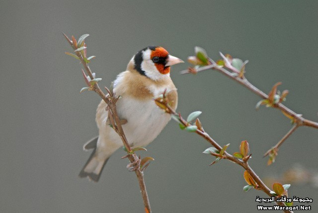 France, Midi Pyrenees, Goldfinch, Carduelis carduelis sitting on a branch