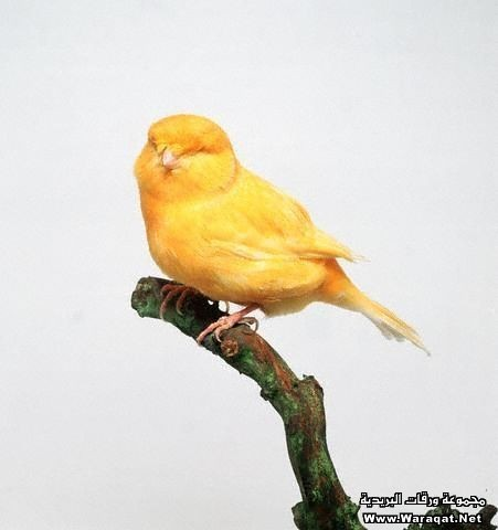 Norwich Fancy Canary