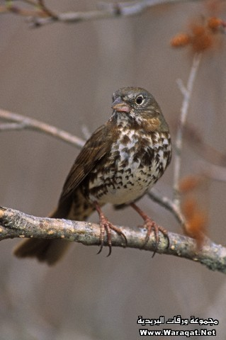 Fox Sparrow (Passerella iliaca), North America.