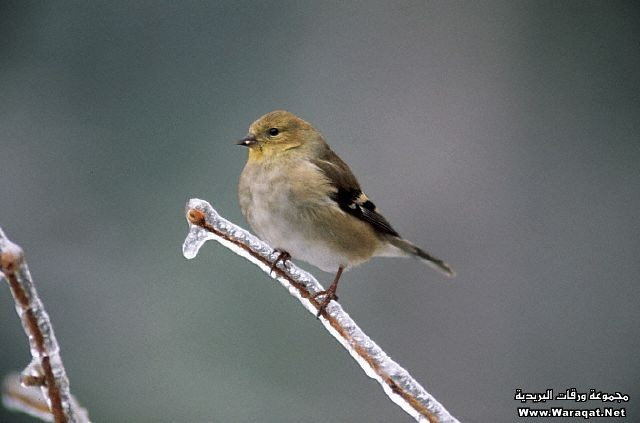 American Goldfinch on Frozen Branch