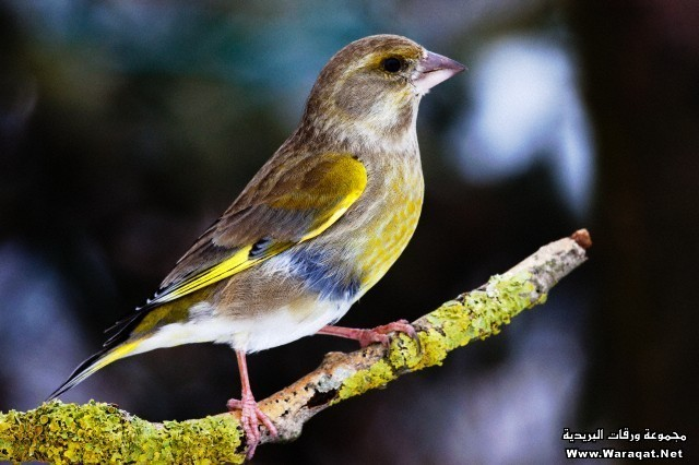 Greenfinch female (Carduelis chloris) in winter - Bavaria / Germany