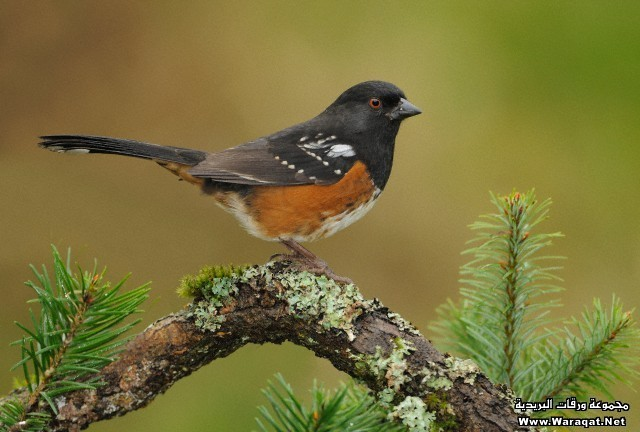 Spotted Towhee on perch, Victoria BC, Canada