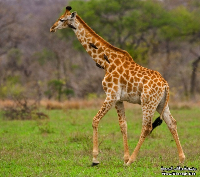 Giraffe walking, Greater Kruger National Park, South Africa
