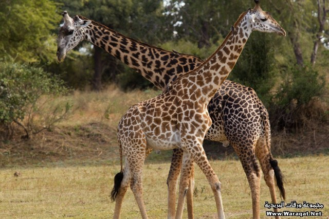 Male and female giraffes