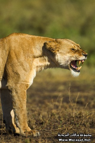Snarling Lioness