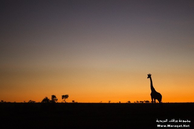 Maasai giraffe at sunrise