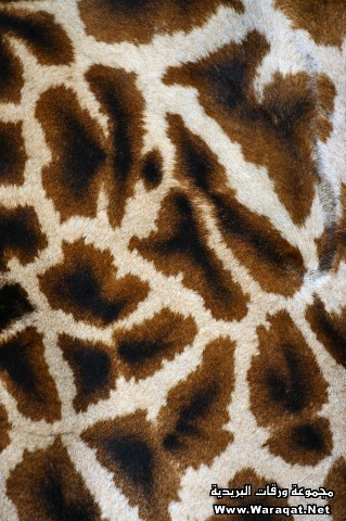 Close-up of giraffe skin