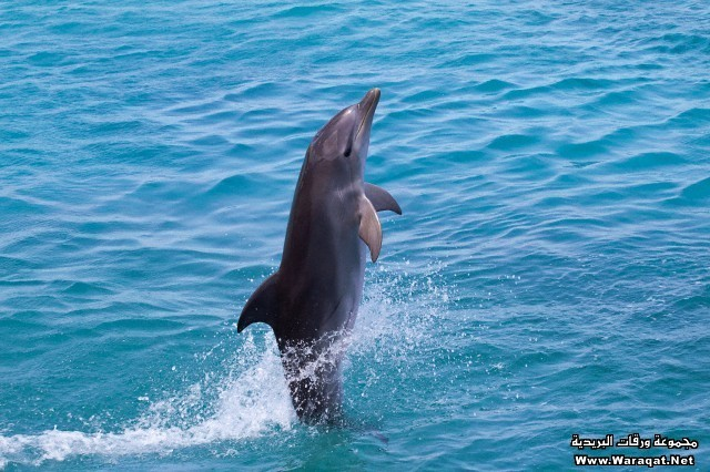 Atlantic Bottlenose Dolphin (Tursiops truncatus) leaps from the ocean
