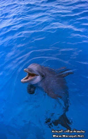 Bottlenosed Dolphin in Water with Mouth Open