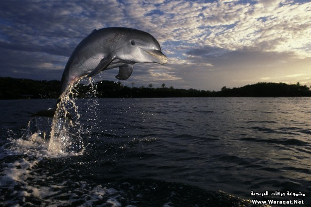 Atlantic Bottlenosed Dolphin Leaping