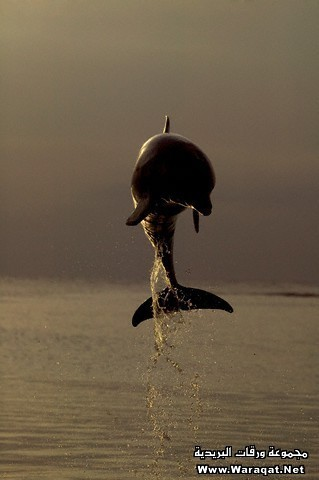 Bottlenosed Dolphin Breaching