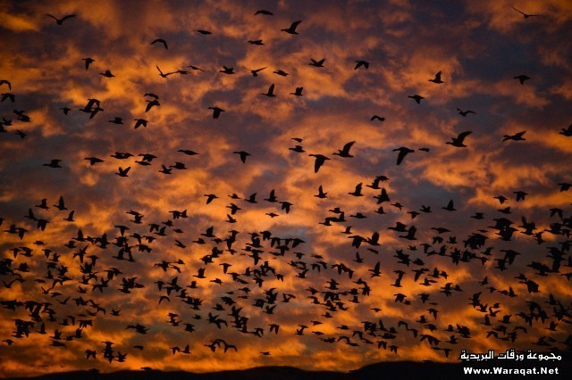 Snow Geese in flight at sunrise (Anser caerulescens)