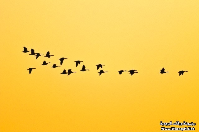 Canada geese flying during spring migration