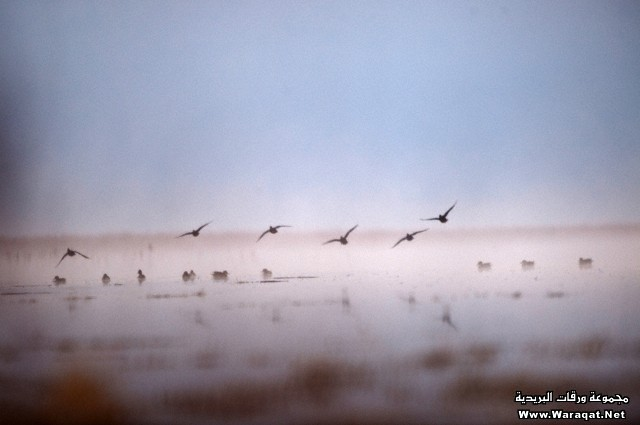 Ducks take flight in northern California's Tule Lake National Wildlife Refuge