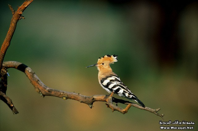 Individual hoopoe sitting on a bough.
