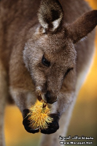 Eastern Gray Kangaroo