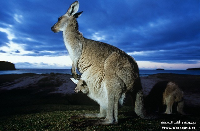 Eastern Grey Kangaroo with Joey in Pouch