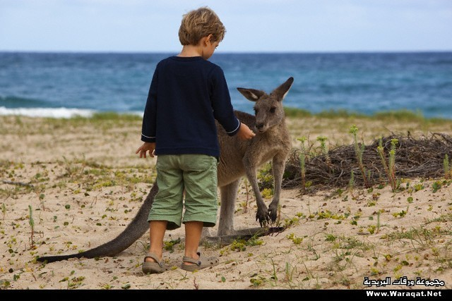 Young boy with Eastern Gray Kangaroo in Murramarang National Park