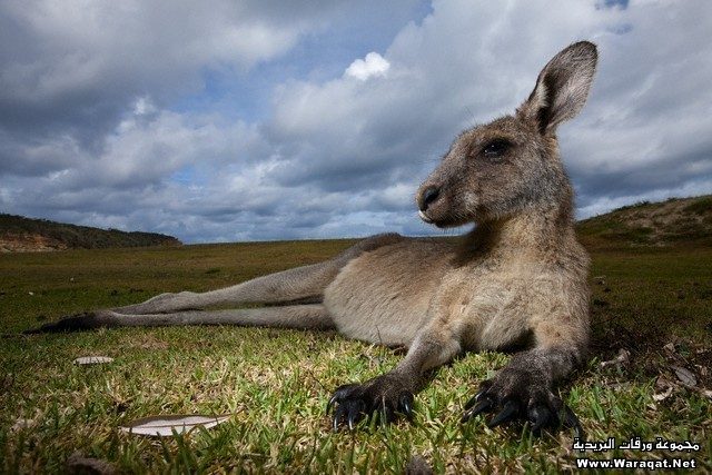 Eastern Gray Kangaroo in Murramarang National Park