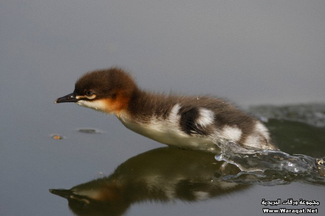 Germany, Munich, Close up of goosander chick running in water