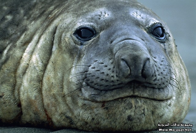 Head of an elephant seal