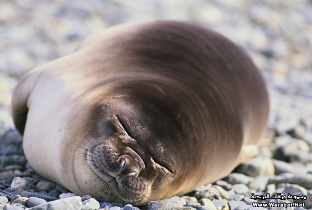 Sleeping Southern Elephant Seal