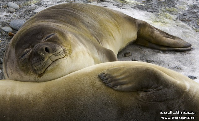 Two Southern Elephant Seal Cows Resting