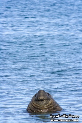Head of Southern Elephant Seal Bull Emerging from the Sea