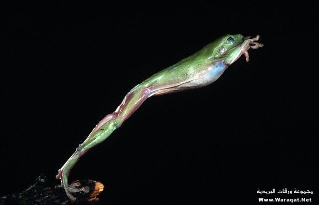 Green Tree Frog Jumping