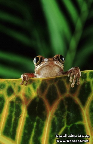 Tree Frog Perching on Leaf