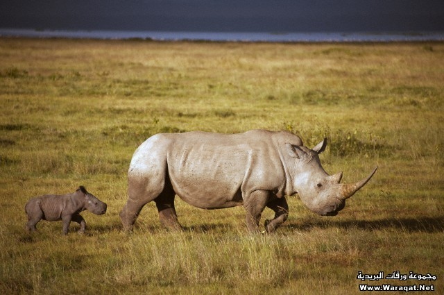 White Rhinoceros (Ceratotherium simum) mother and calf, Lake Nakuru National Park, Kenya