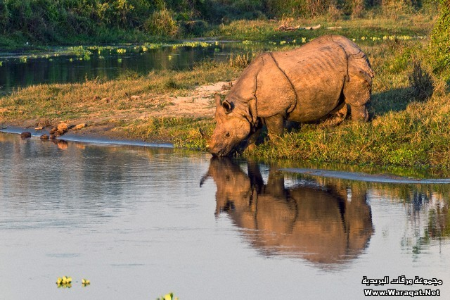 Indian rhinoceroses are found only in Nepal and India